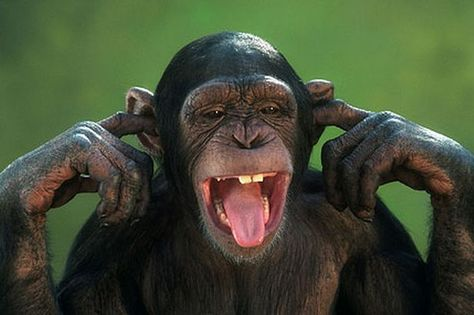 Chimp covering ears