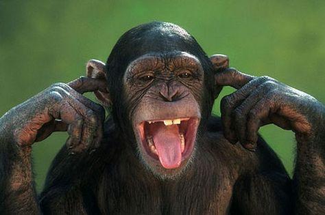 Chimp covering ears